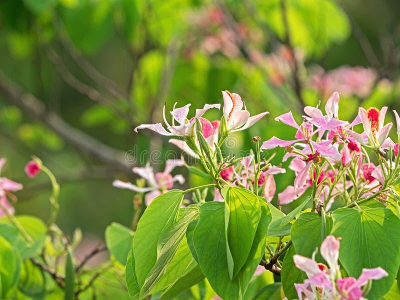 Roze die Bloemen Phanera Purpurea op Aardachtergrond wordt geïsoleerd royalty-vrije stock foto