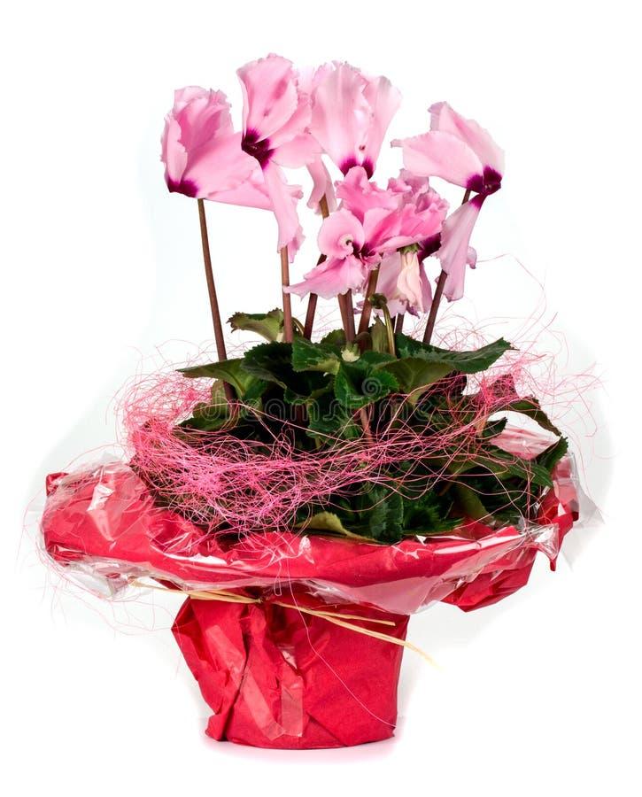 Roze die cyclaam in een bloempot op een witte achtergrond wordt geïsoleerd stock fotografie