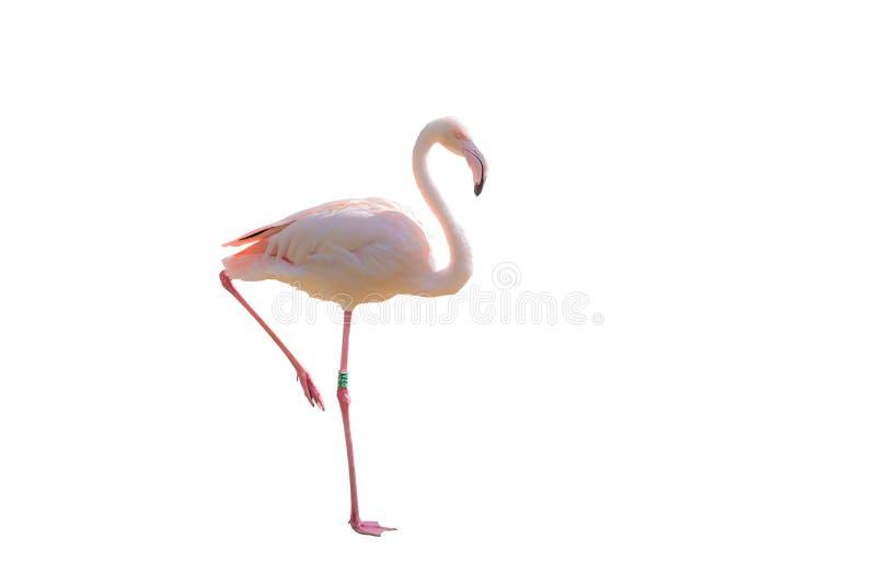 Roze die flamingo op de witte achtergrond wordt geïsoleerd stock afbeelding