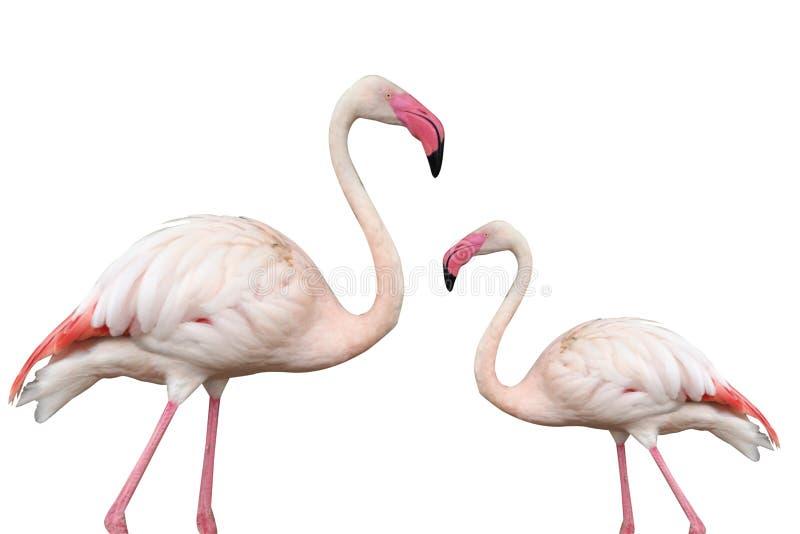 Roze die flamingo op witte achtergrond wordt geïsoleerd stock afbeelding