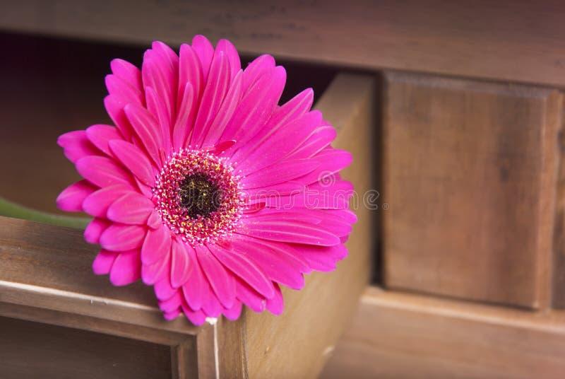 Roze die het madeliefjebloem van fucsiagerbera op houten lijst met exemplaarruimte wordt geïsoleerd gestemd Uitstekende stijl royalty-vrije stock afbeelding