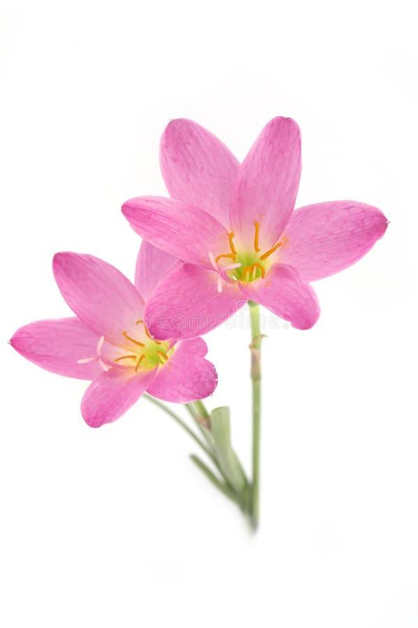 Roze die lelie twee op een witte achtergrond wordt geïsoleerd zephyranthes candi royalty-vrije stock afbeeldingen