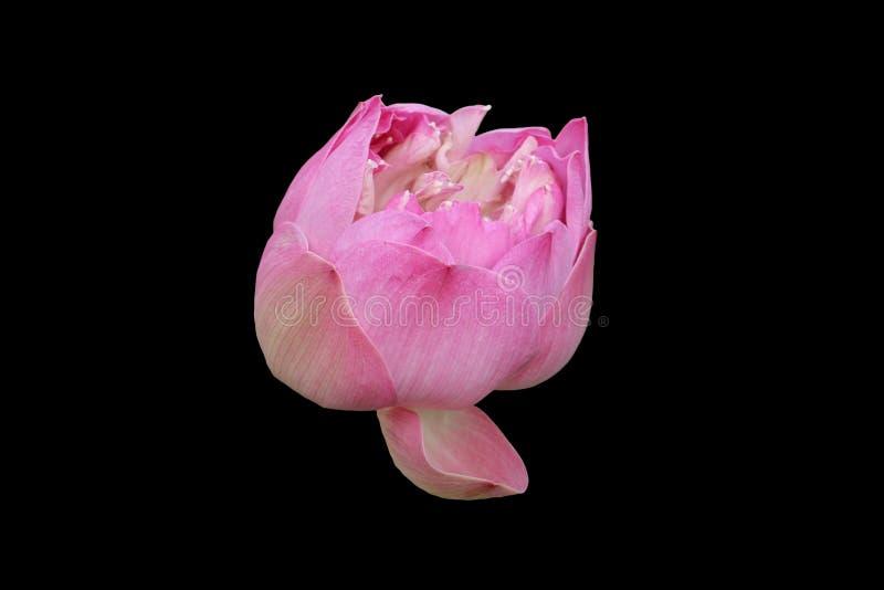 Roze die lotusbloem op zwarte achtergrond wordt geïsoleerd stock afbeeldingen