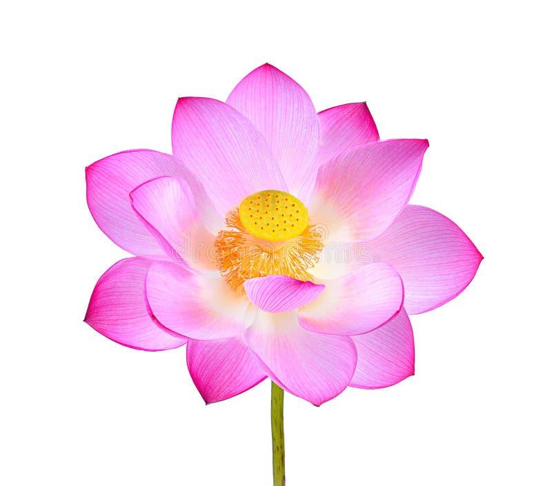 Roze die lotusbloembloem op witte achtergrond wordt geïsoleerd royalty-vrije stock fotografie