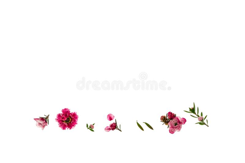 Roze die manukabloemen op witte achtergrond met exemplaar hierboven ruimte worden geïsoleerd stock afbeelding