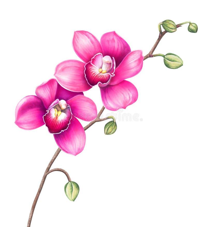 Roze die orchideebloemen op witte achtergrond worden ge?soleerd De illustratie van de waterverf stock illustratie