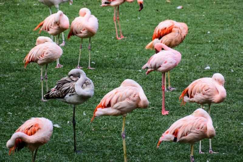 Roze Dierlijke Vogel Wilde Flamingo royalty-vrije stock foto's