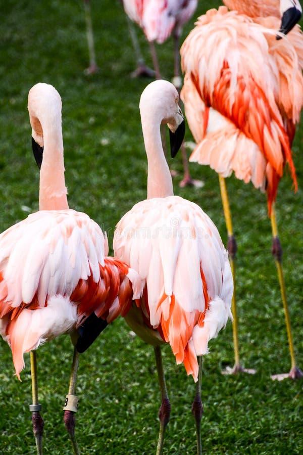 Roze Dierlijke Vogel Wilde Flamingo royalty-vrije stock fotografie