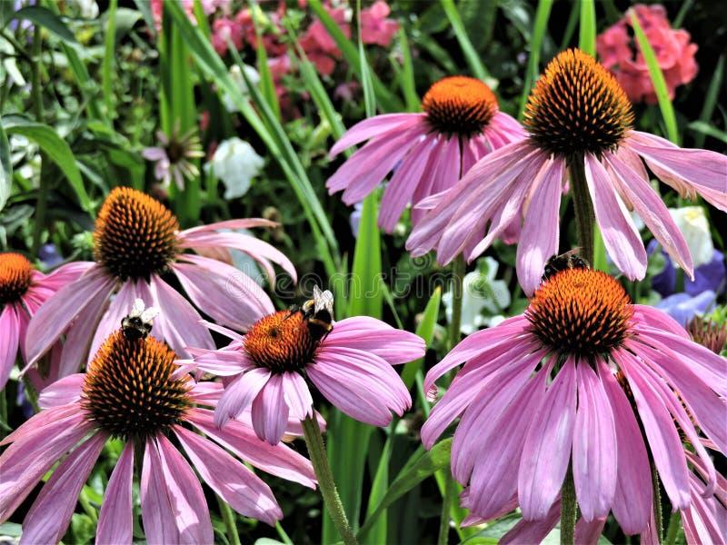 Roze echinaceabloemen met bij in botanische tuin van Helsinki royalty-vrije stock afbeeldingen