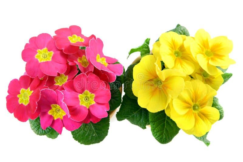 Roze en geel sleutelbloembloemkader stock afbeeldingen