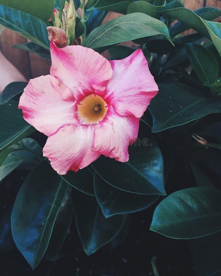 Roze en gele bloem stock afbeeldingen