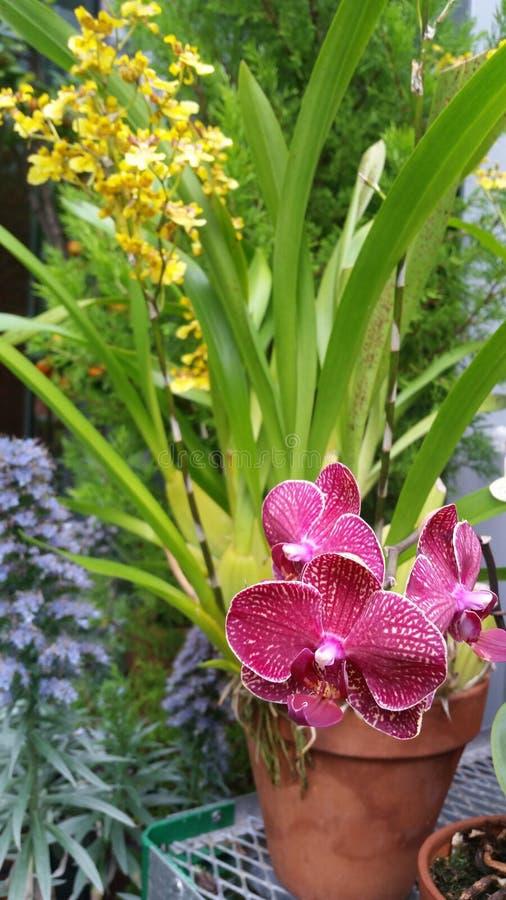 Roze en gele ingemaakte orchideeën stock afbeelding
