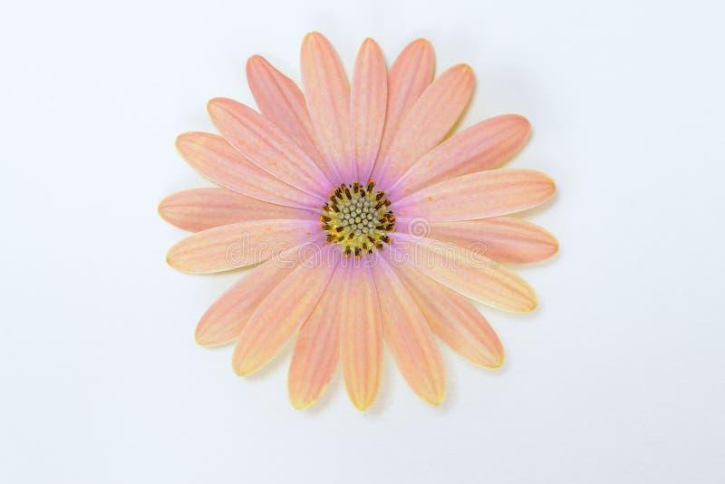 Roze en Gele madeliefjes royalty-vrije stock afbeeldingen