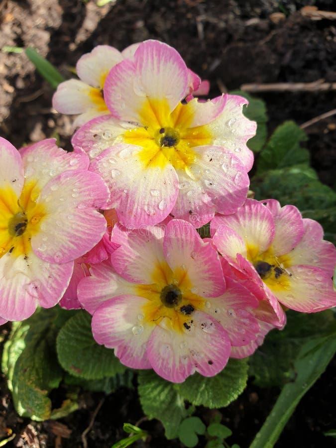 Roze en gele pansies stock afbeeldingen
