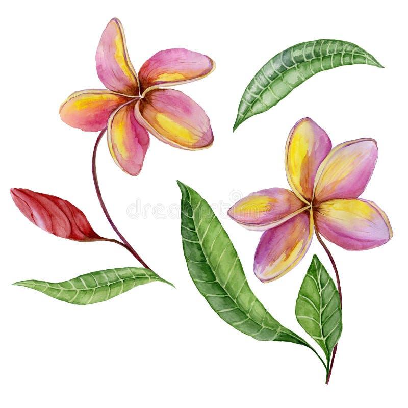 Roze en gele plumeriabloemen met exotische bladeren Tropische bloemenreeks Geïsoleerdj op witte achtergrond Het Schilderen van de royalty-vrije illustratie