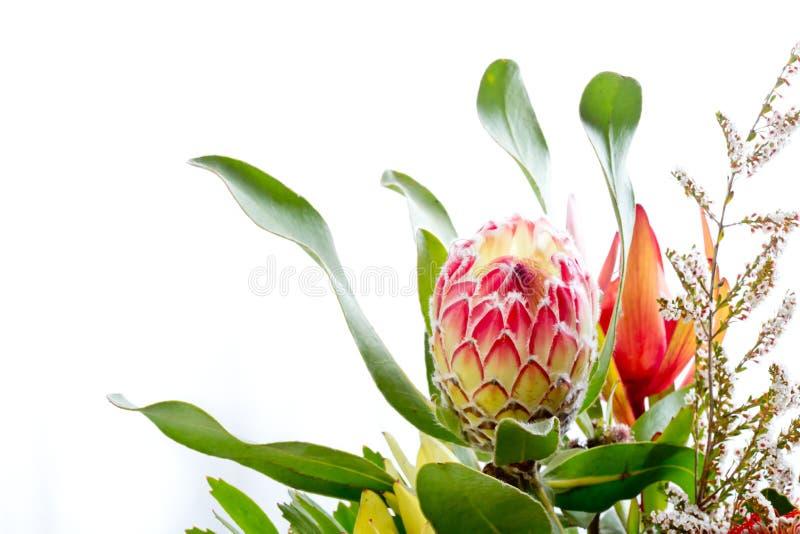 Roze en gele proteabloem tegen witte achtergrond met exemplaar stock fotografie