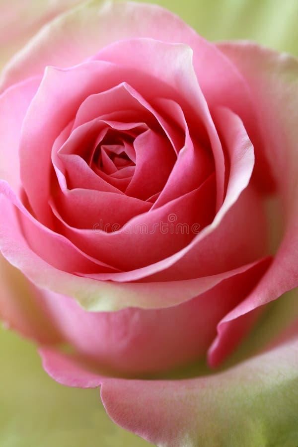 Roze en groen nam toe stock foto's