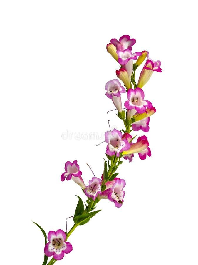 Roze en mooie Penstemon stock foto