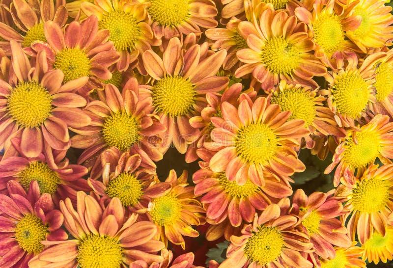 roze en oranje bloem op witte achtergrond Gele de lentebloemen royalty-vrije stock foto