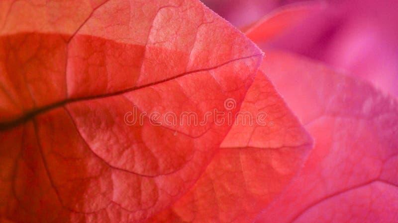 Roze en purpere bloemenbloemblaadjes die achtergrond vormen stock afbeelding