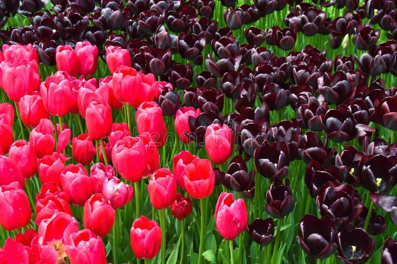 Roze en purpere spectaculaire tulpen in de lente royalty-vrije stock foto's
