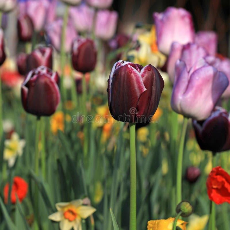 Roze en purpere tulpen royalty-vrije stock foto's