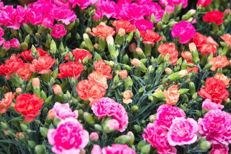 Roze en rode anjersachtergrond bij Bloemmarkt in Hong Kong, selectieve nadruk Floristry en bloementeeltachtergrond stock fotografie