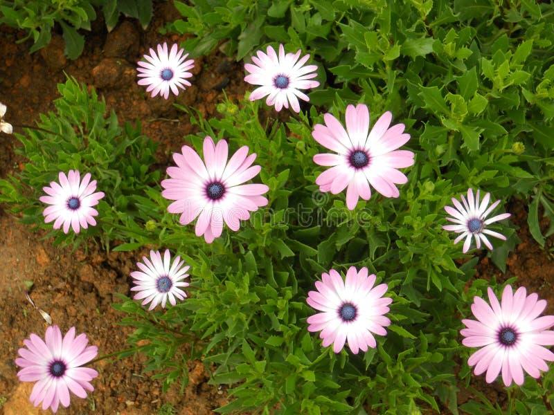 Roze en wit stock afbeelding
