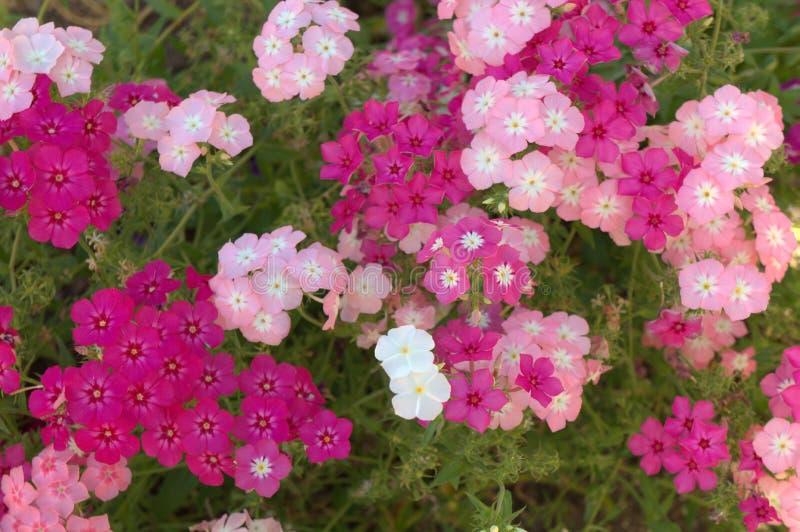 Roze en wit gebiedsmadeliefje stock afbeeldingen