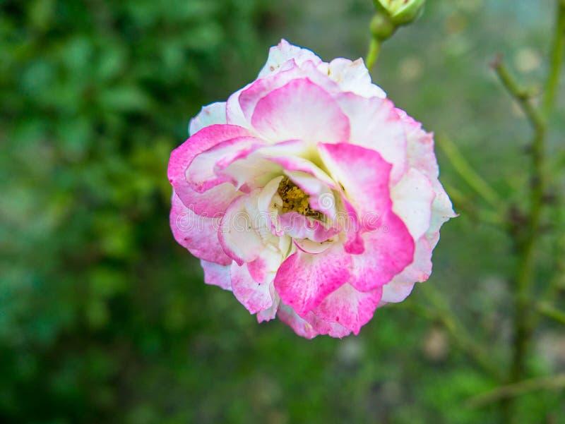 Roze en wit nam toe royalty-vrije stock fotografie