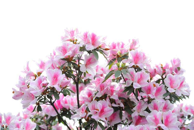 Roze en witte azaleabloei stock afbeeldingen
