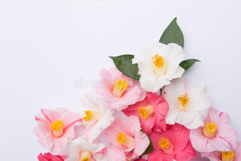 Roze en Witte Cameliabloemen op wit royalty-vrije stock afbeeldingen
