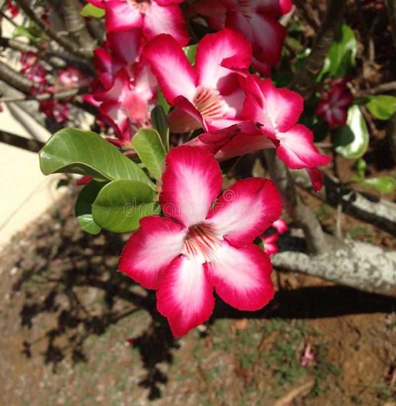 Roze en Witte Caraïbische Bloem stock foto's