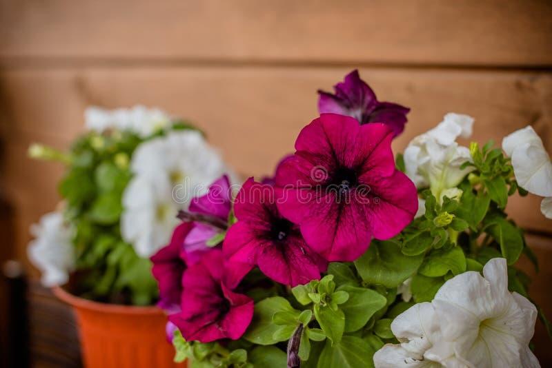 Roze en witte de bloemen macroclose-up van Petuniapetunioideae als achtergrond Selectieve nadruk Beeldhoogtepunt van kleurrijk royalty-vrije stock afbeelding