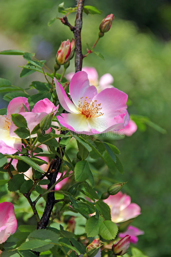 Roze en witte de zomerrozen royalty-vrije stock foto's