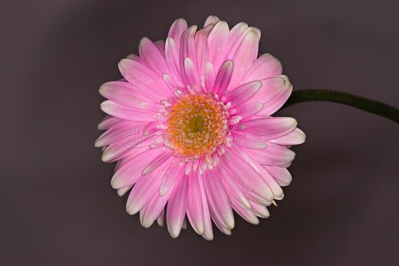 Roze en witte dichte omhooggaand van de gerberabloem op donkere achtergrond royalty-vrije stock fotografie