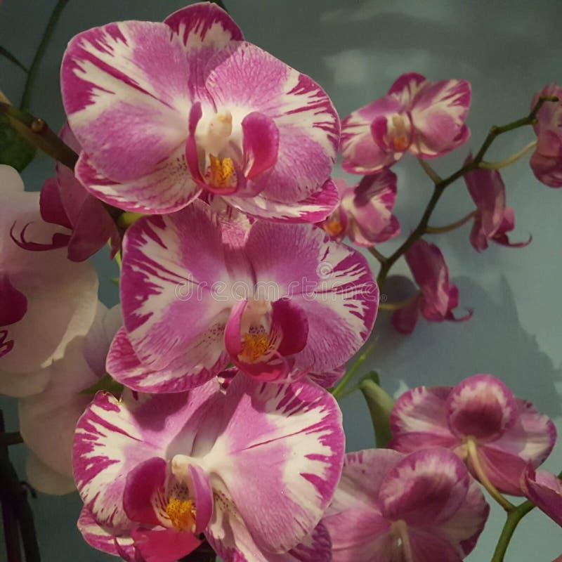 Roze en witte orchidee?n stock afbeeldingen