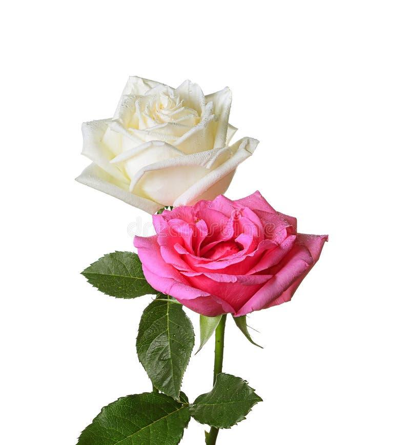 Roze en witte rozen royalty-vrije stock foto's