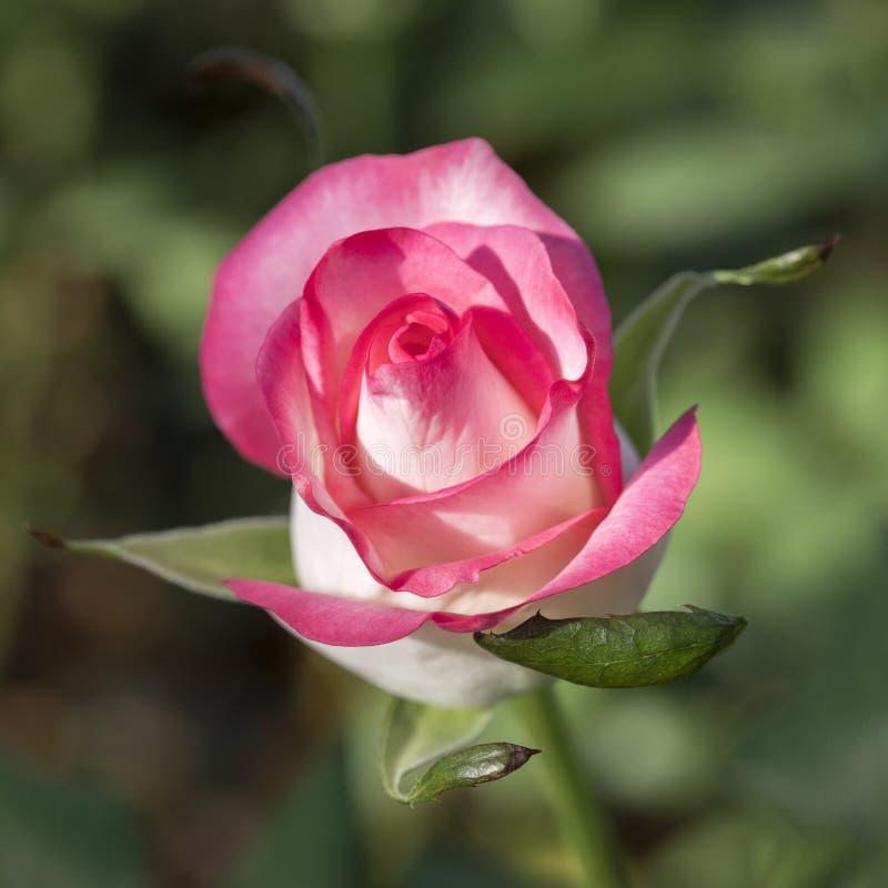 Roze en witte rozen in Nederlandse serre in Holland royalty-vrije stock foto's