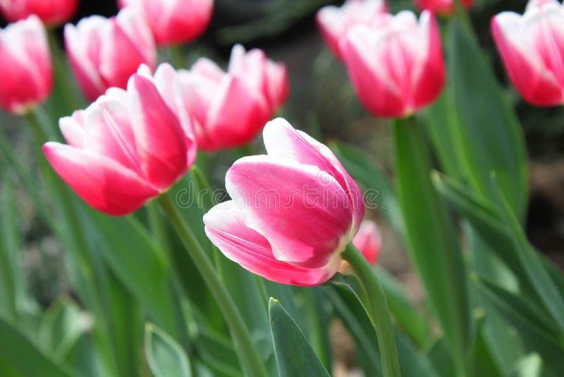 Roze en witte tulpen stock foto