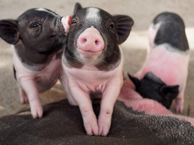 Roze en zwarte varkens die tonend liefde en vriendschap kussen royalty-vrije stock foto