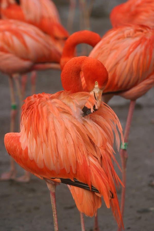 Download Roze flamingo stock afbeelding. Afbeelding bestaande uit vogel - 27921