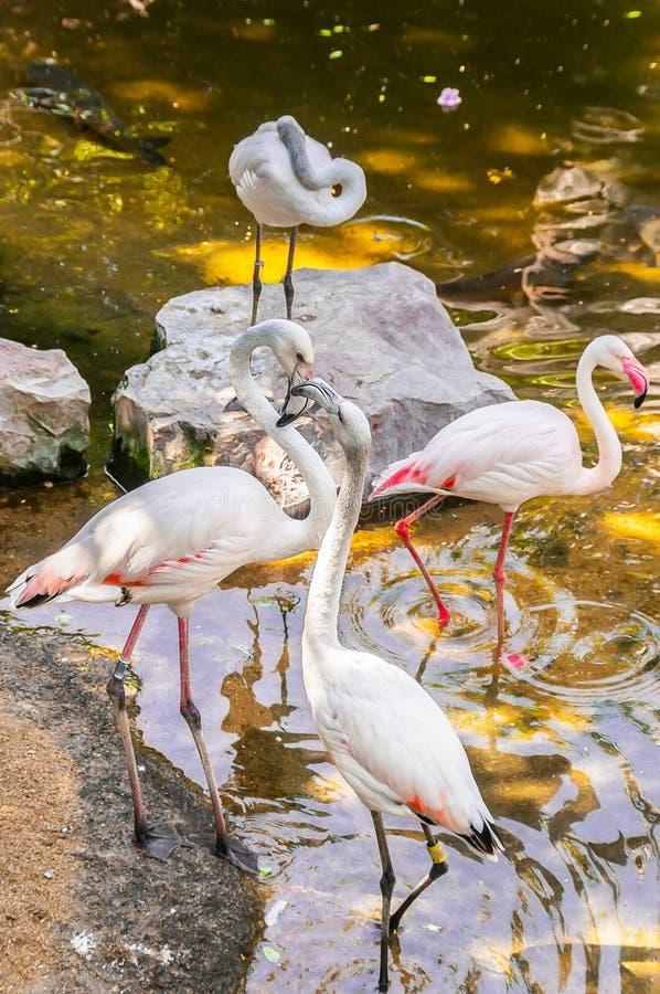 Roze Flamingo stock fotografie