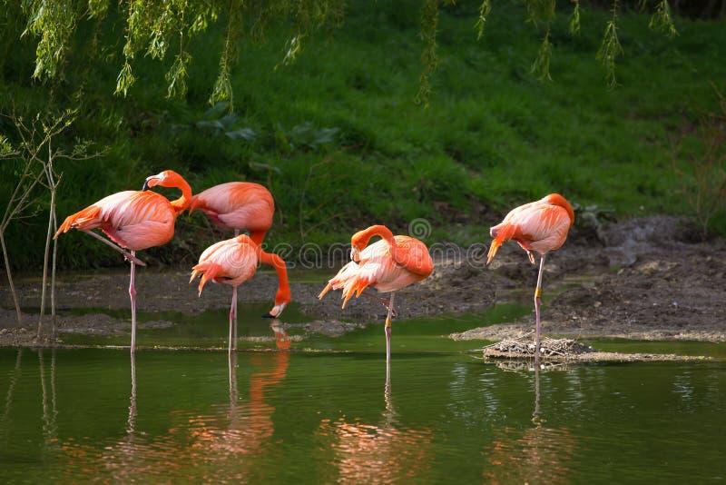Roze Flamingo royalty-vrije stock foto's