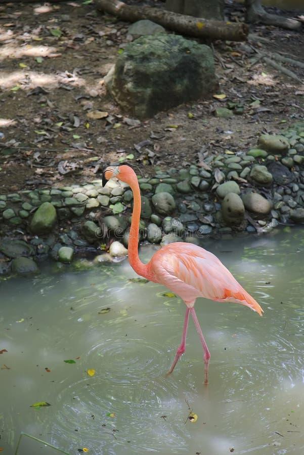 Roze flamingo in aardhabitat royalty-vrije stock foto