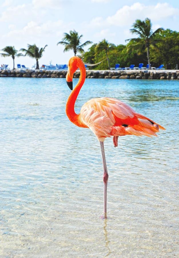 Roze flamingo, Aruba stock afbeelding