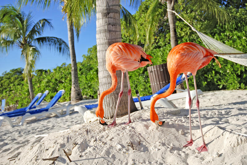 Roze flamingo, Aruba royalty-vrije stock afbeeldingen