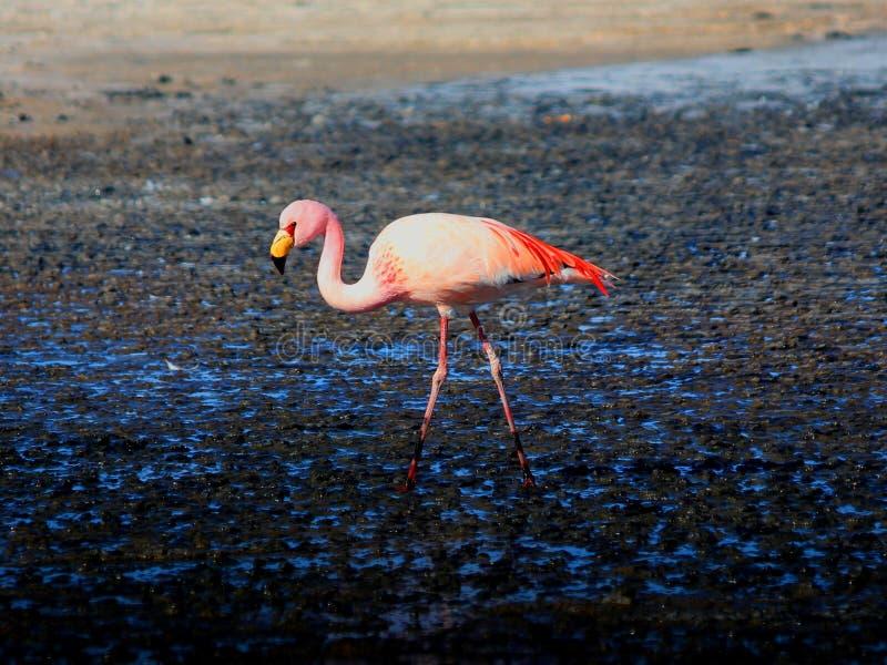 Roze Flamingo Bolivië stock foto's