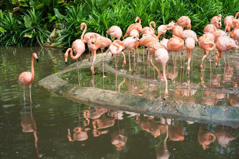 Roze flamingo in dierentuinpark in Singapore royalty-vrije stock foto's