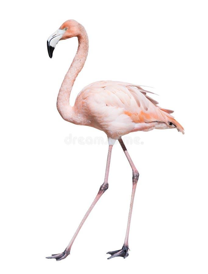 Roze Flamingo Geïsoleerd over wit royalty-vrije stock afbeelding